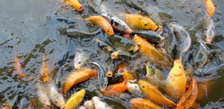 Efek Merkuri Terhadap Kualitas Sperma dan Kesuburan Ikan Mas