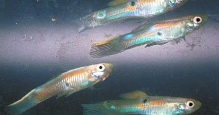 Pencemaran Kadmium Tingkatkan Radikal Bebas Ikan Gambusia